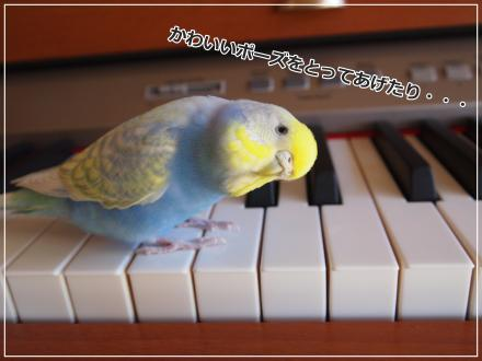 ピーちゃんピアノの上で可愛いポーズ