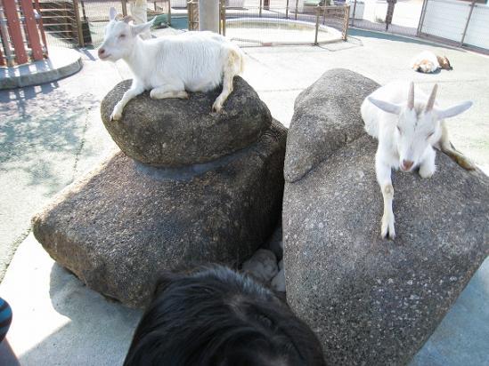 2010/04月/わんぱーくこうちアニマルランドのヤギ