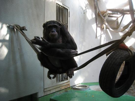 2010/04月/わんぱーくこうちアニマルランドのチンパンジー