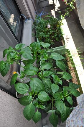 ベランダ菜園0530
