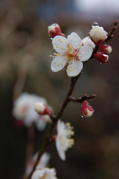 『雨の中の白梅』 いくつか咲き始めました!