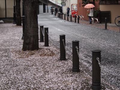 写真 JR池袋東口付近風景 散った桜と傘