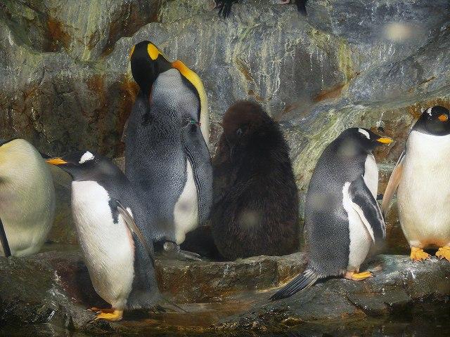 P1100925_キングペンギン