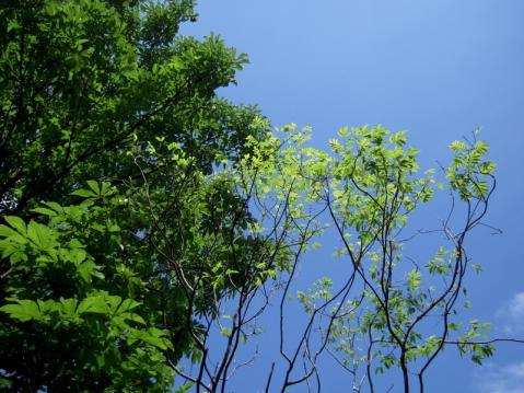 泰山木の花が咲いた