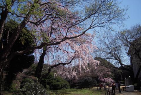 いっそ博物館で桜狩り!