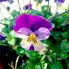Viola_20130129123139.jpg