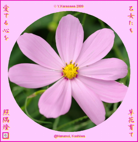 091106桜色コスモス