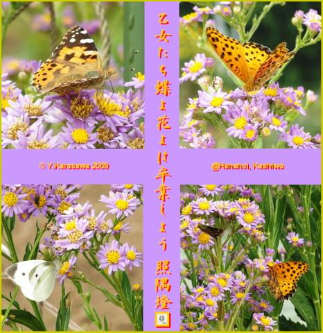 091116紫苑に蝶