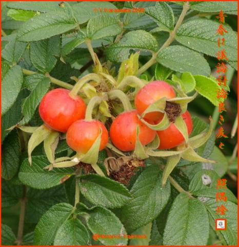 091118浜茄子の実