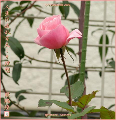 091120ピンクのバラ