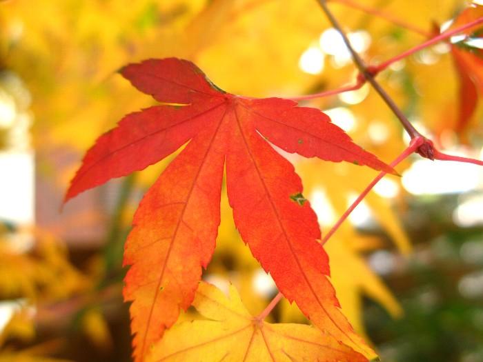 2011-12紅葉