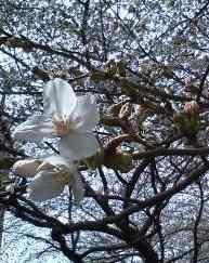 20130323桜2