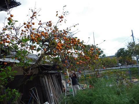 柿をとってもらいました