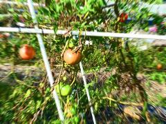 根性トマト!