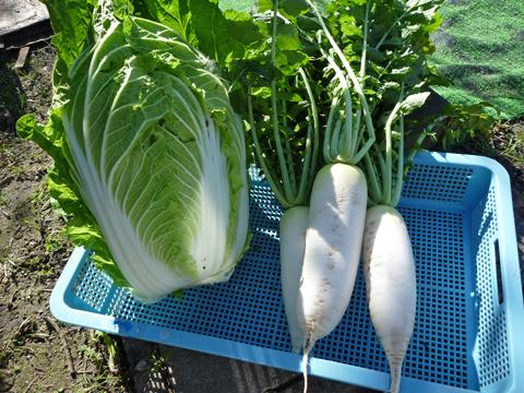 白菜と大根