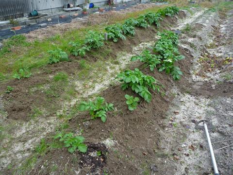 ジャガイモの土寄せ2