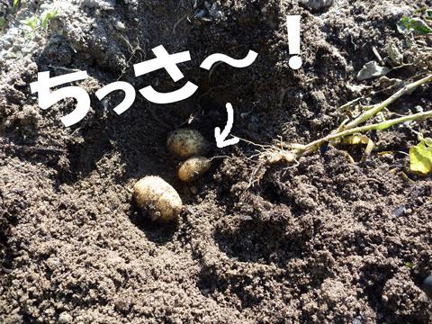 あまりにも小さい種芋…