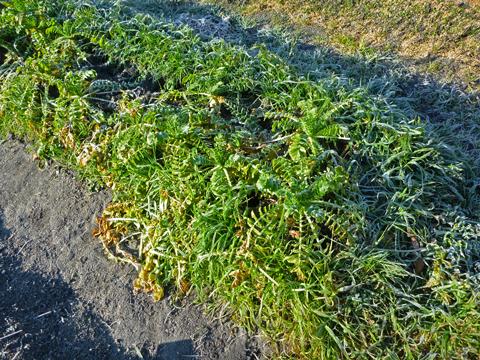 霜の中で頑張る大根