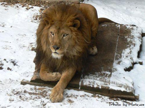 lion1-s.jpg