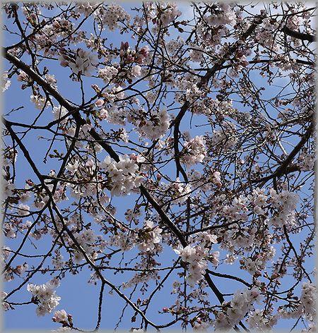 2011.4.4 桜2