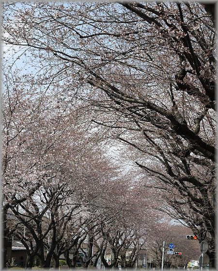 2011.4.4 桜