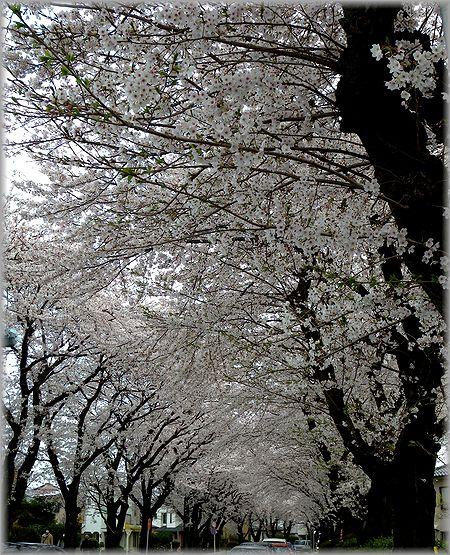 2011.4.10 桜並木
