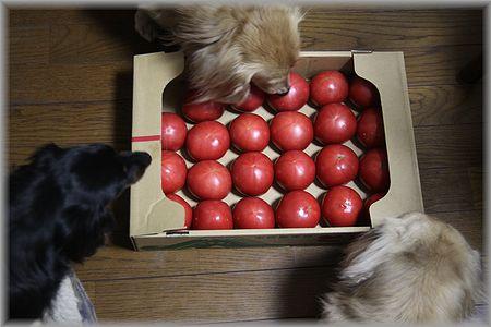 2011.5.2 トマト