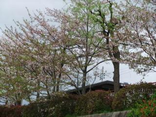 Cherry_Blossoms_in_2010_E_02_2010-04-15