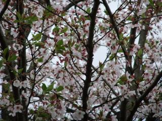 Cherry_Blossoms_in_2010_E_04_2010-04-15