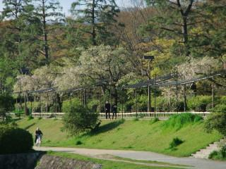 葉桜_賀茂川_2010-04-24