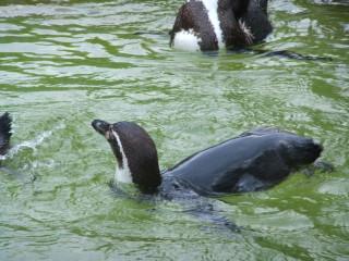 フンボルトペンギン_2010-05-01