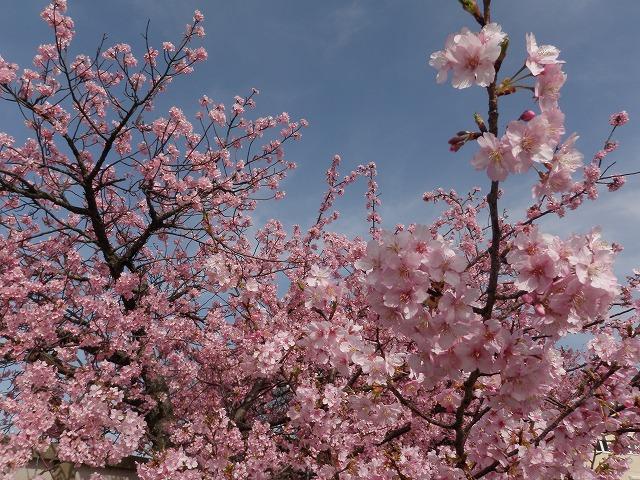 早咲き桜 満開!