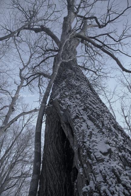 ハリギリ 巨木