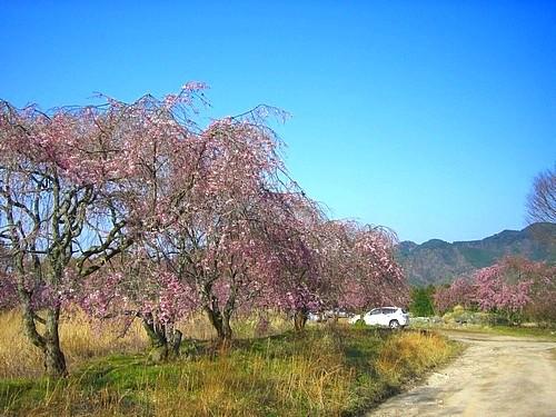 嵯峨子城址のしだれ桜