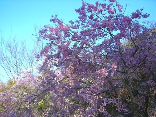 中には満開の桜もありました