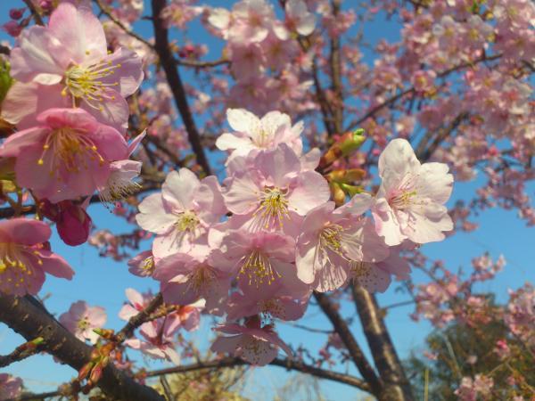 境川沿いの河津桜