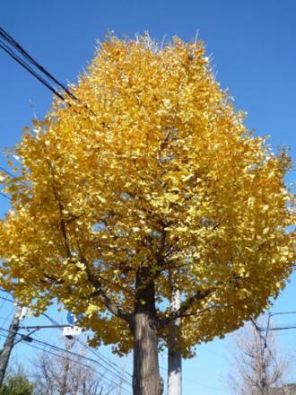 王禅寺街路樹紅葉①