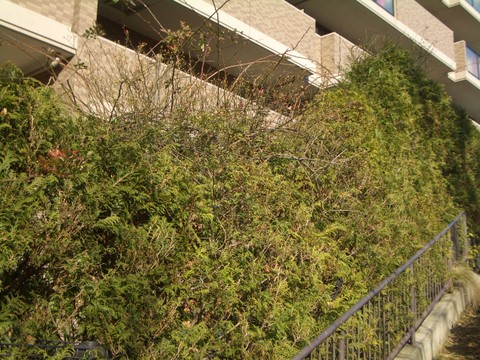 生垣のつるバラ1