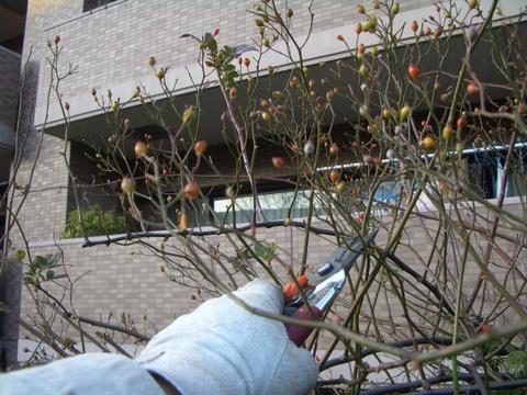 生垣上のノイバラの剪定