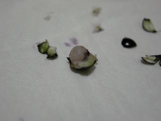 斑入りヤブランの種1
