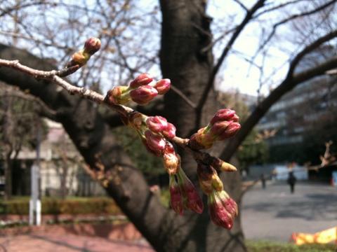 日比谷公園の桜2