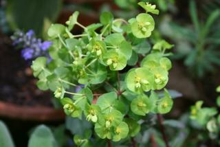 プルプレアの花