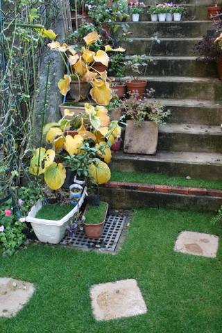 階段のギボウシの黄葉