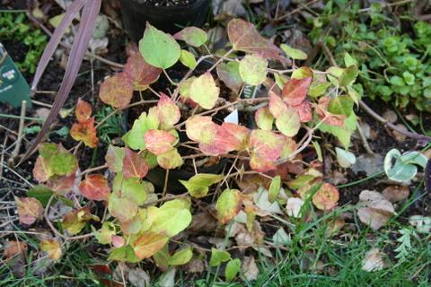 黄金葉キヅタの紅葉