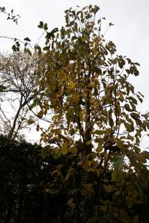 コブシの木1