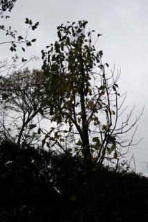 コブシの木2