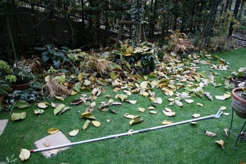 コブシの落ち葉2