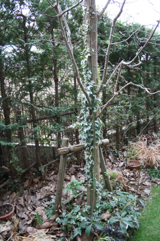 コブシの木のアイビー
