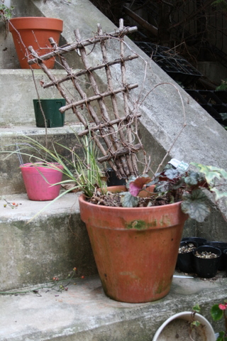 斑入りノブドウの鉢