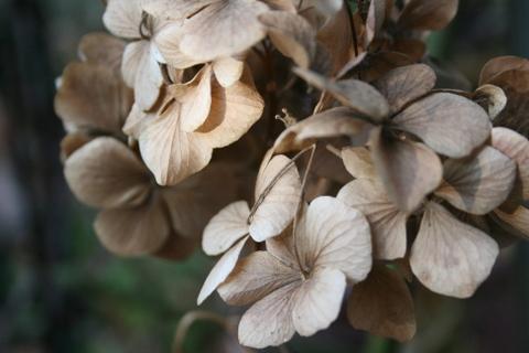 枯れたアジサイの花